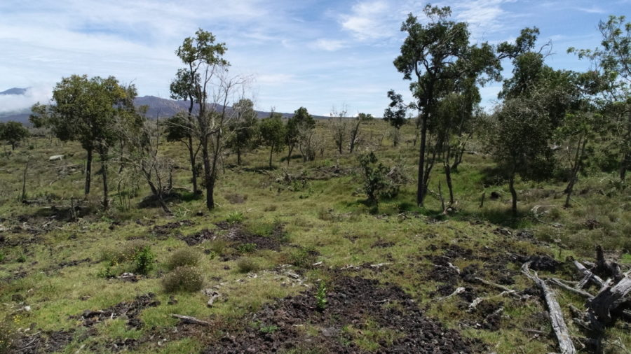 Kamehameha Schools Enters Into Koa, ʻIliahi Forest Agreements