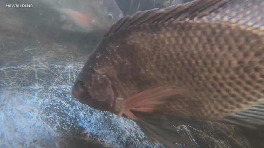 VIDEO: Nile Tilapia Invade Wailoa River In Hilo