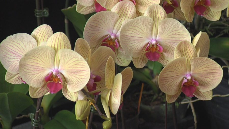 Senate Provision Requires Impact Study Of Imported Orchids