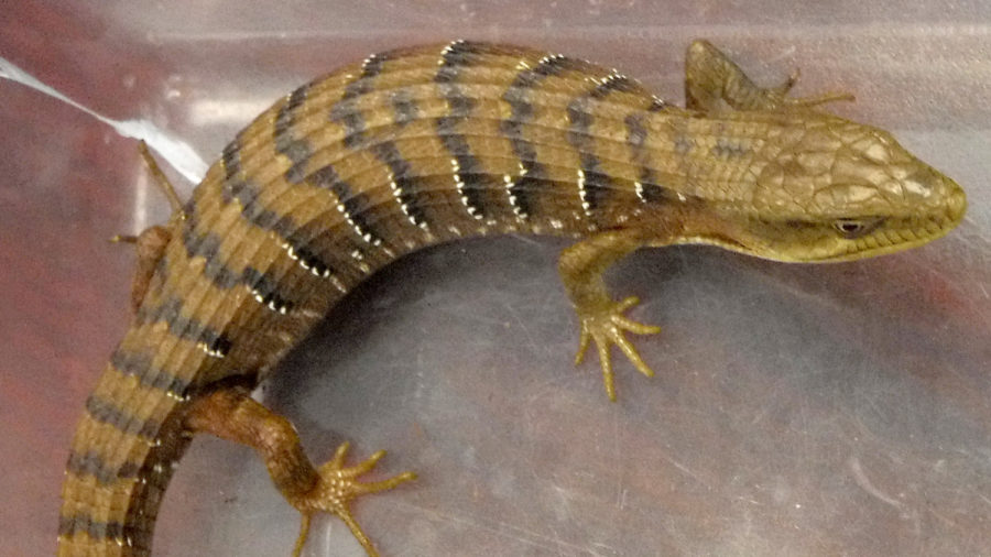 Alligator Lizard Found In Christmas Tree In Hilo