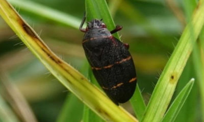 Hawaii Reps Introduce Bill To Fight Spittlebug Ravaging Kona