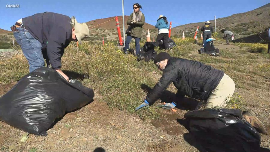 VIDEO: Cold Day For A Maunakea Weed Pull