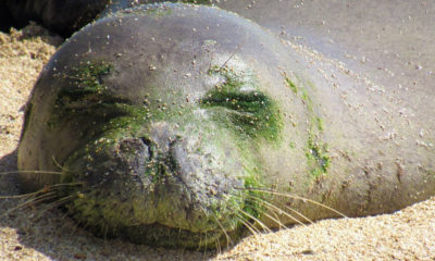 Coast Guard Helps Transport Monk Seal To Kona Rehab