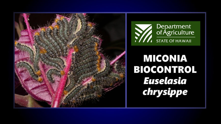 Biocontrol Proposed For Miconia In Hawaii