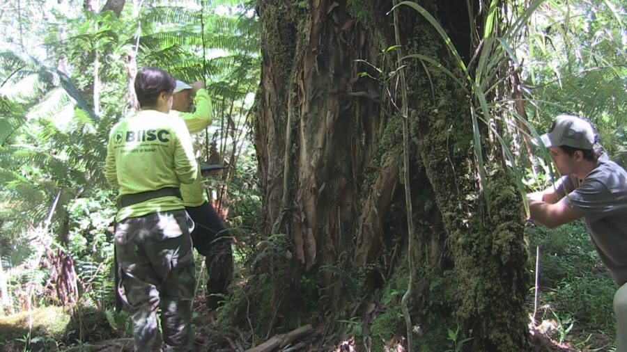 As Hawaiʻi Fights COVID-19, Rapid ʻŌhiʻa Death Spreads In Laupāhoehoe Forest