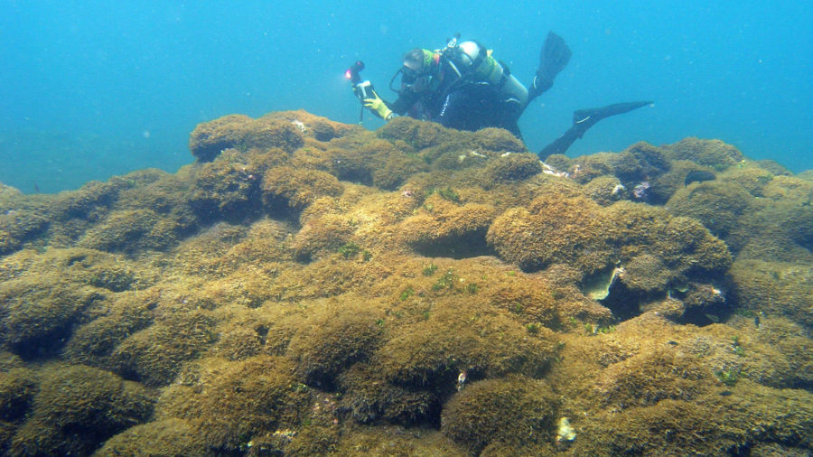 Newly Discovered Algae Species Infesting NW Hawaiian Waters