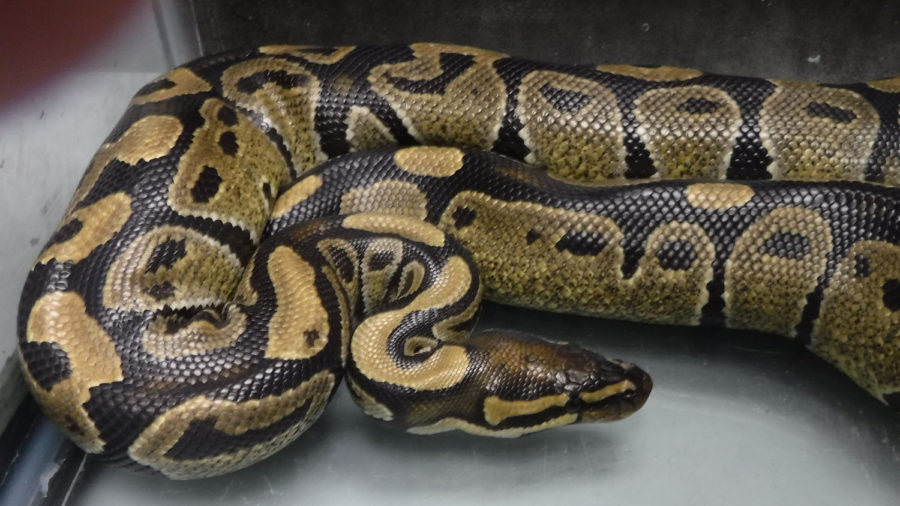 Snake Found In Hilo: Another Ball Python