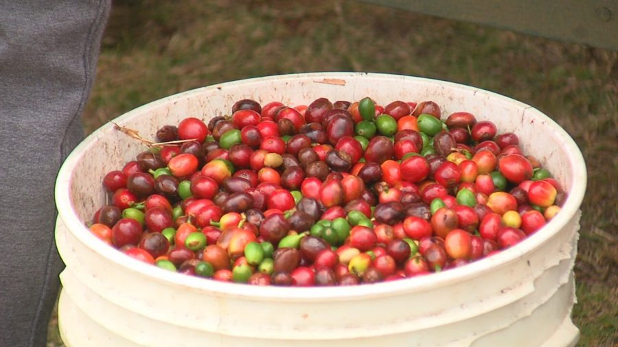 Coffee Producers Eligible For Coronavirus Food Assistance Program