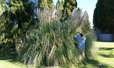 Invasive Pampas Grass Eradicated From Hawaiʻi Island