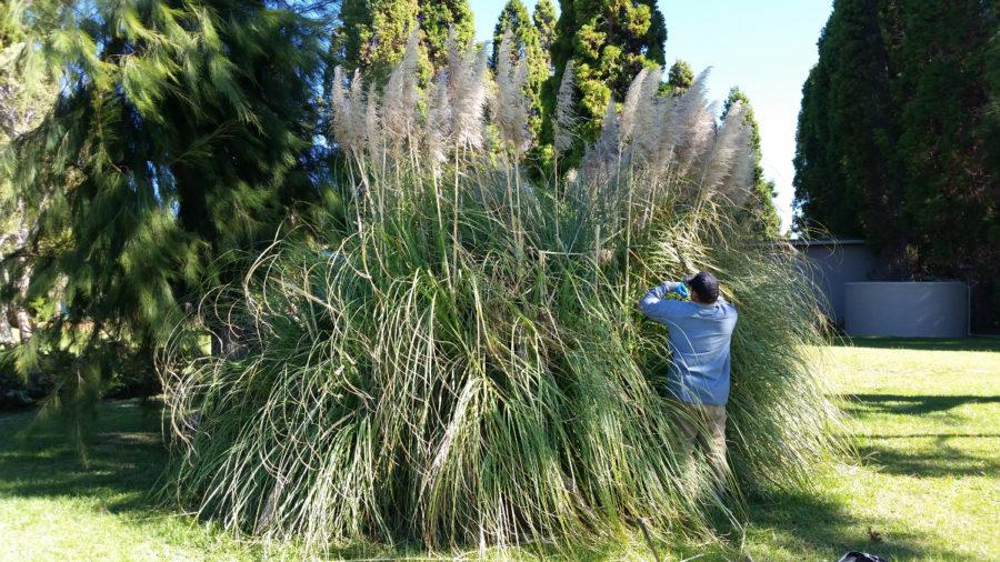 Invasive Pampas Grass Eradicated From Hawaiʻi Island