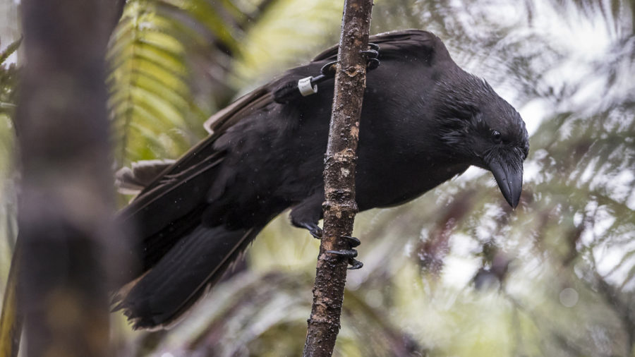 Remaining ʻAlalā To Be Removed From Hawaiian Forest