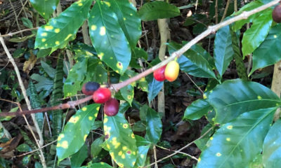 Coffee Leaf Rust Appears In Hilo, Officials Say