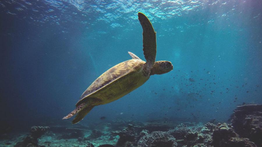 Turtles Face Grim Future, UH Researcher Says