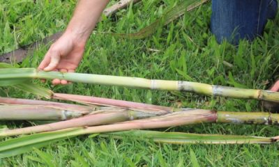 UH-Hilo Examines Sugarcane For Jet Fuel