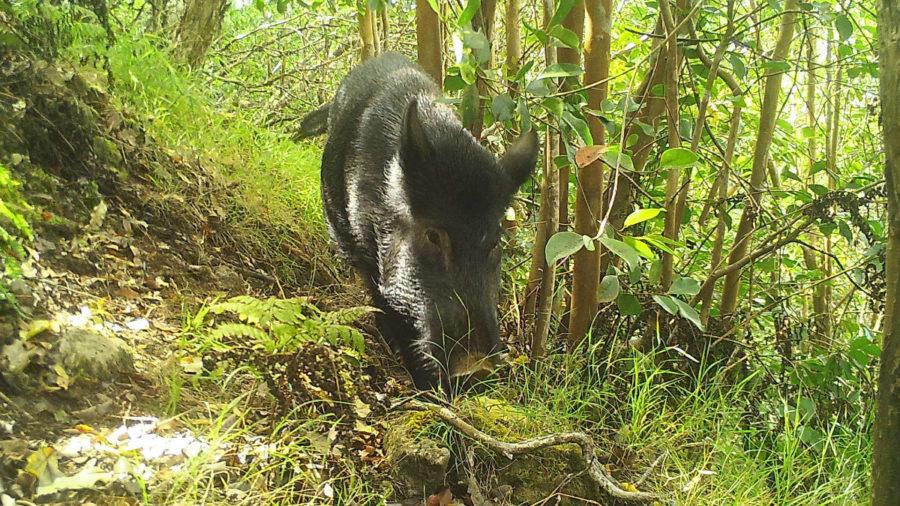University of Hawaii Study Examines Impacts Of Wild Pigs