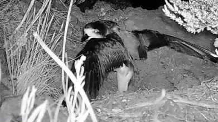 VIDEO: Rare Seabird Spotted On Mauna Kea For First Time In 60 Years