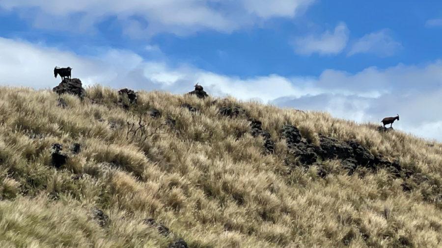 Goats To Be Removed From Puʻuhonua o Hōnaunau