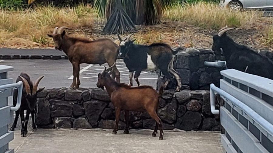 458 Goats Removed From Puʻuhonua o Hōnaunau