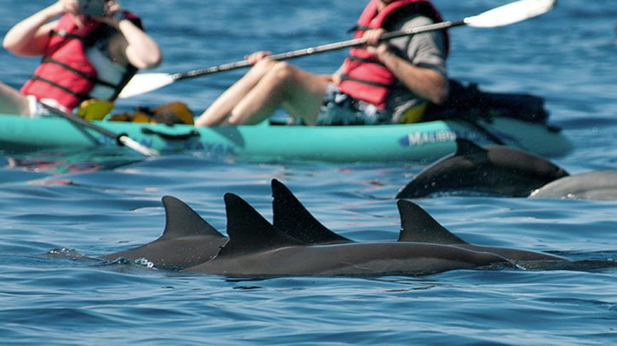 New Spinner Dolphin Rules Start Oct. 28, Closures Proposed For Kona